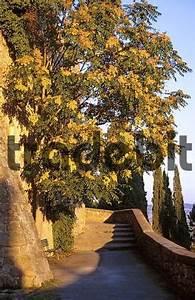 Baum Mit Blüten : baum mit leuchtenden bl ten in der abendsonne an der stadtmaue ~ Frokenaadalensverden.com Haus und Dekorationen