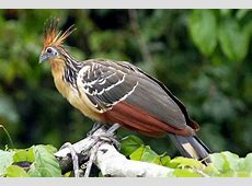 National Bird Of Guyana Hoatzin 123Countriescom