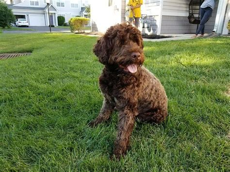 portuguese water dog brown common coat solid while come they most