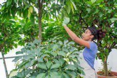 Ficus Benjamini Gelbe Blätter : ficus benjamini zum bonsai erziehen so wird 39 s gemacht birkenfeige ~ Watch28wear.com Haus und Dekorationen