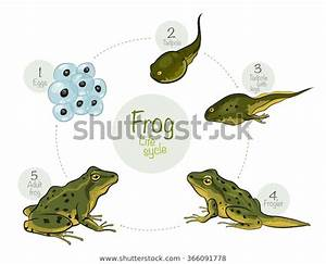 Vector Illustration Life Cycle Frog High Stock Vector