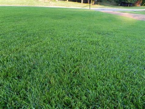 Zoysia Grass Lawn Care And Maintenance
