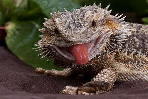 Horny Toad Meme - hooligan animals photos