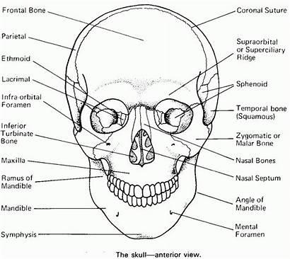 Anatomy Skull Coloring Bones Worksheet Human Sheet