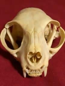 cat skull the nature revealing the mystery of skulls