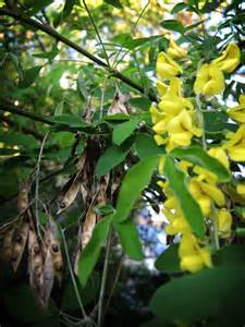 Tree with Pods and Yellow Flowers