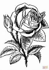 Coloring Rose Roses Pages Drawing Floral Flower Printable Pixabay Leaf Leafy Leaves Flowers Getdrawings Paper Games English Vectors Categories Supercoloring sketch template