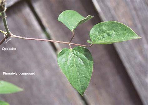 clematis hybrid landscape plants oregon state university