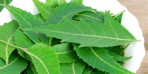 obat tradisional asam urat penyakit asam urat