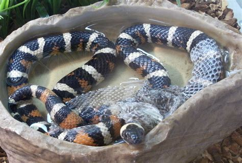 shedded snake skin preservation file california mountain king snake shedding its skin jpg