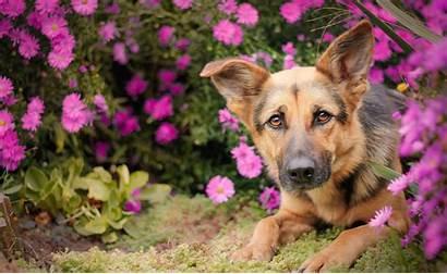 Shepherd German Dog Wallpapers Flower Dogs Pastor