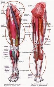 Hamstring And Quadriceps