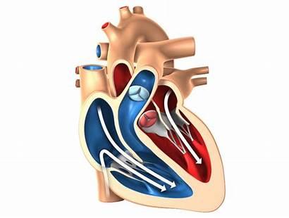 Heart Cuore Anatomia Del Funzionamento Clil Rezia