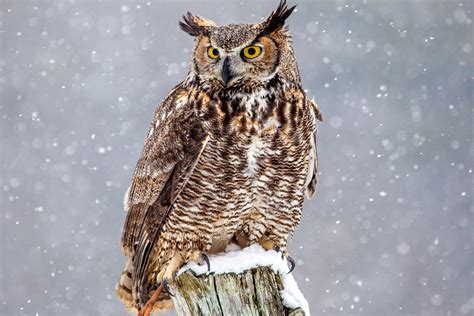 Interesting Facts About Great Horned Owls