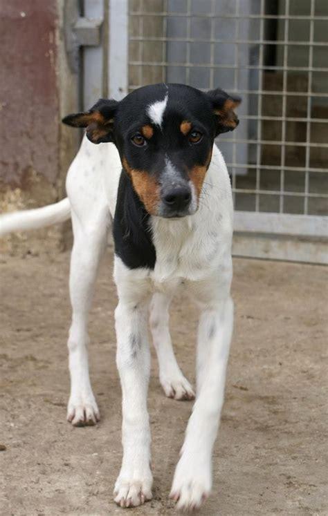 bodeguero spanish ratonero andaluz rat terriers dogs terrier streets sweet puppies