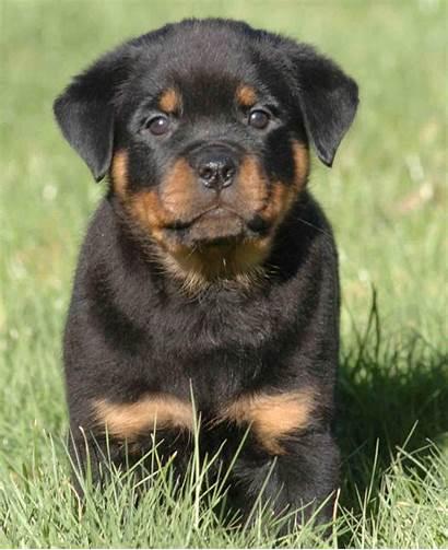 Puppy Rottweiler Rotweiler Dog Puppies Rot Dogs