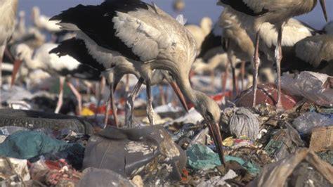 las cigueenas se hacen adictas  comer basura