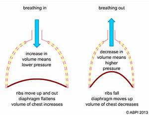 What Happens To The Lungs When The Diaphragm Contracts