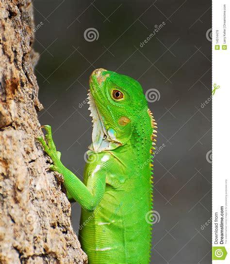 small iguana royalty  stock images image