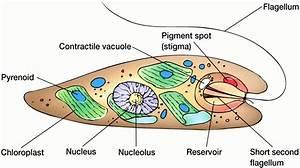 Euglena Diagrams