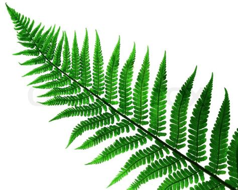 what is a fern plant 1359299 leaf fern plant isolated jpg 800 215 639 flower bookmarks pinterest