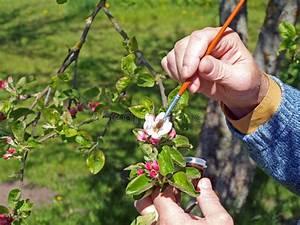Apple Tree Pollination 2 Stock Photo  Image Of Pollen