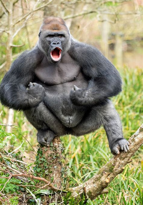 This Gorilla Is 28 Stone Of Muscle And He Wants To Fight