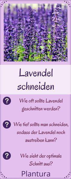 wann schneidet lavendel lavendel schneiden pflegen wachsender lavendel lavendel schneiden und lavendel