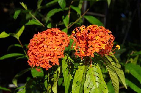 asoka ciri ciri tanaman khasiat manfaatnya