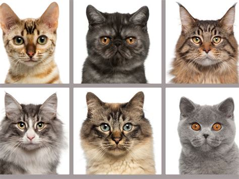 What Cat Breed Should You Own?