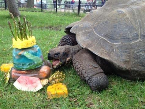 birthday galapagos zoo celebrating tortoise animals animal zookeepers tortoises cake 20th happy turtle celebrate wildlife party candles january eating turtles