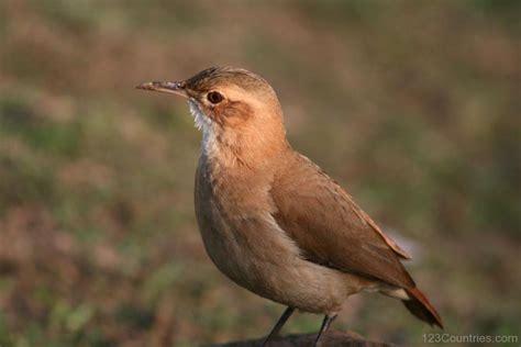 National Bird Of Argentina -Rufous Hornero - 123Countries.com