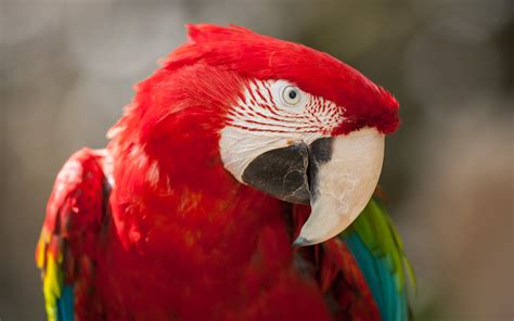 red green macaw  wallpapers hd wallpapers id