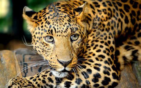 leopard hd wallpaper high resolution pixelstalknet