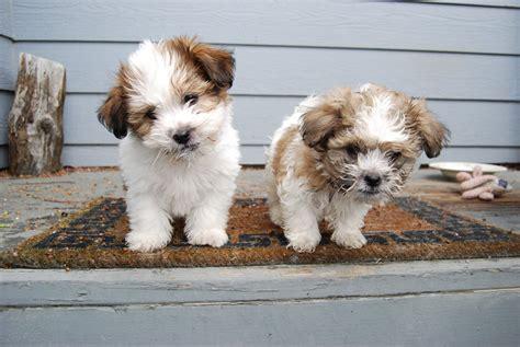 Ee  Shih Tzu Puppies Ee    By Xxtgxxstock On Deviantart