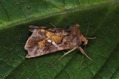 Noctuidae Chrysodeixis