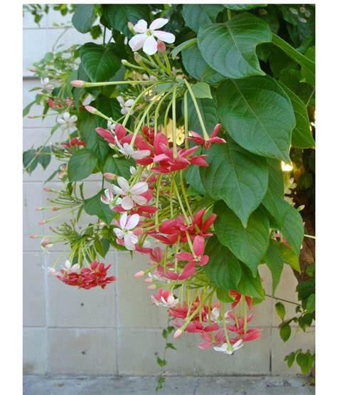 1000+ Ideas About Flowering Vines On Pinterest Climbing