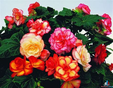 begonias care best flower s care begonia