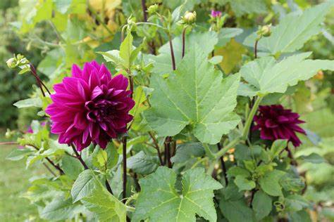 planting dahlias planting dahlias in your vegetable garden longfield gardens