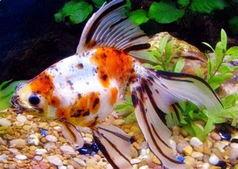 Gambar Ikan Lele Terlengkap 21 jenis ikan koki beserta gambar terlengkap bahas ikan