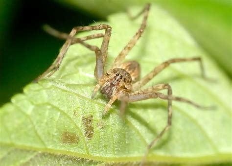common water spider megadolomedes sp