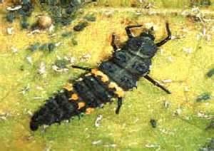 Jerusalem Cricket Larvae