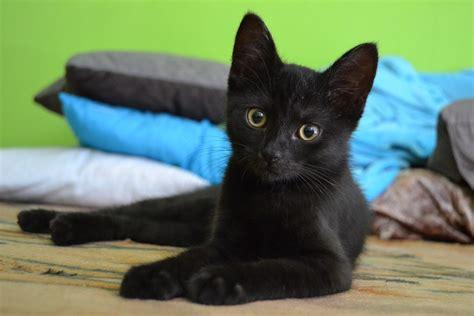 Free Photo Cat, Kitten, Black, Animal, Pet  Free Image