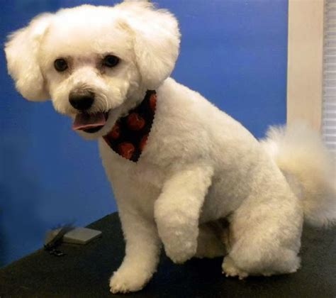 Do Bichon Poodles Shed by There Are Some Breeds With Minimal Amounts Of Shedding