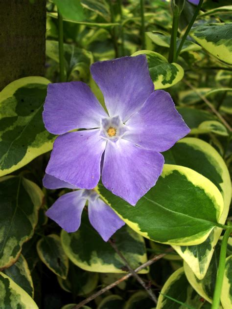 periwinkle plant greater periwinkle vinca major nen gallery