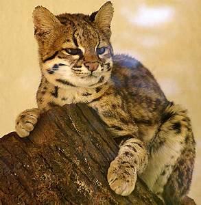 Tiger Cat / Oncilla (Leopardus tigrinus) - Wild Cats Magazine