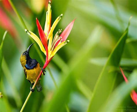 jenis jenis burung kolibri terpopuler