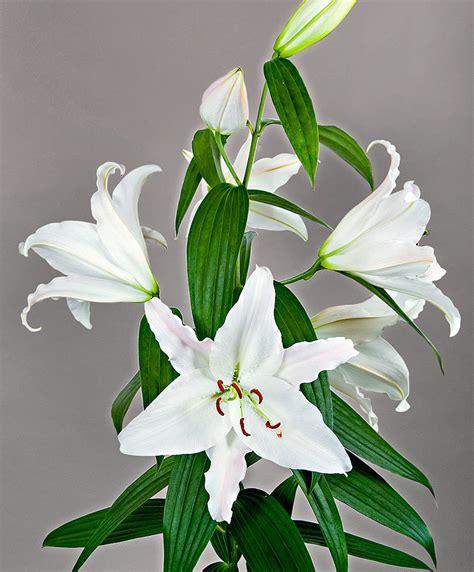 buy lily mothers choice bakkercom
