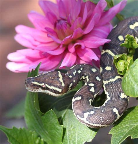 angolan python herptology pinterest python