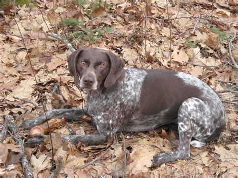 Stop German Shorthaired Pointer Shedding by German Shorthaired Pointer Breed Guide Learn About The